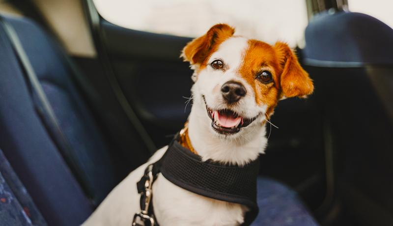 Fido in auto e codice strada trasporto cani - obblighi e sanzioni - TRAVELLING DOG